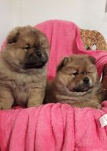 ❤️❤️  Adorable Chow Chow Puppies❤️❤️