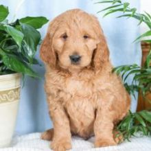 ❤️❤️ Adorable Golden doodle Puppies❤️❤️ Email at ⇛⇛ [baldsandhar@gmail.com