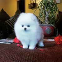 Adorable Pomeranian puppies Email at ⇛⇛ [baldsandhar@gmail.com]