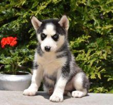 ❤️❤️ Amazing Siberian Husky Puppies Available❤️❤️