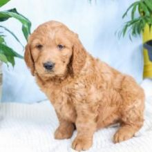 Beautiful Golden-doodle Puppies (CKC Registration)❤️❤️ Email at ⇛⇛ [baldsandhar@gm