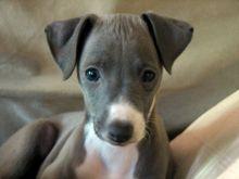 Beautiful Italian Greyhound Available now Email at ⇛⇛[baldsandhar@gmail.com]