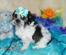 ❤️❤️ Beautiful Maltipoo puppies Available