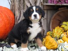Bernese Mountain puppies for sale Bernese Mountain puppies for sale