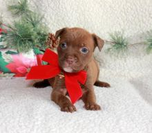 Blue nose American Pitbull terrier pups Available,