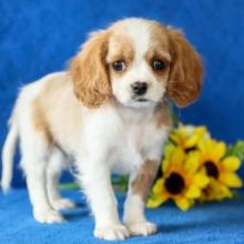 ❤️❤️ Charming ✔ ✔ Cavapoo Puppies ❤️❤️ Now Ready For Adoption