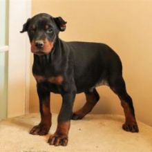 ♥‿♥ ✿Ckc Doberman Pinscher Pups