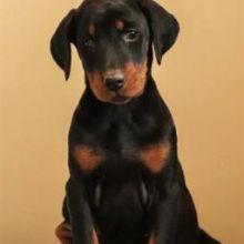 ♥‿♥ ✿Ckc Doberman Pinscher Pups
