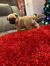 Ckc Pug Puppies Email at us [baldsandhar@gmail.com]