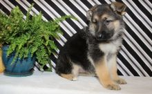 ❤️❤️ CKCQuality German Shepherd puppies for sale❤️❤️ Email at ⇛⇛ [baldsand