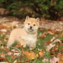 ❤️❤️ Cute Shiba Inu Puppies❤️❤️ Email at ⇛⇛ [baldsandhar@gmail.com]