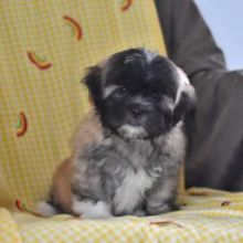 Cutest and Loving Lhasa Apso Puppies For Sale