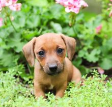 Dachshund Puppies Email at ⇛⇛ [baldsandhar@gmail.com]