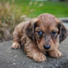 Dachshund Puppies Email at ⇛⇛ [baldsandhar@gmail.com]