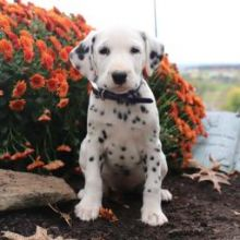 ❤️❤️ Delightful Dalmatian Puppies available for sale❤️❤️
