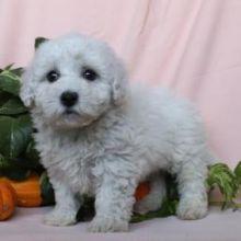 Gorgeous Bichon Frise Puppies [baldsandhar@gmail.com]