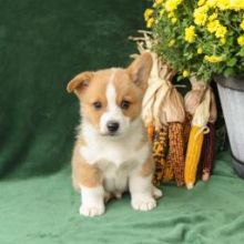 Gorgeous males and females Pembroke Welsh Corgi puppies