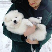 Gorgeous Samoyed Puppies Email at ⇛⇛ [baldsandhar@gmail.com]
