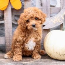 Health Tested Cavapoo Puppies Boy and girl From Kc Parents for sale