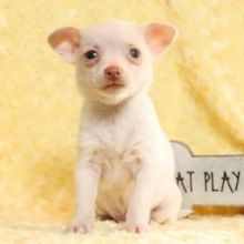 Healthy Chihuahua pups ready for new homes