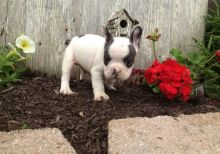Healthy French Bulldog Puppies Available FAST RESPOND EMAIL AT ? [baldsandhar@gmail.com]