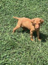 Hungarian Vizsla Puppies For Sale
