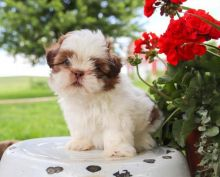 Joyful Shih Tzu Puppies male and female puppies for adoption