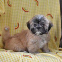 Kc Parti Lhasa Apso Puppies Ready EMAIL AT ⇛⇛ [baldsandhar@gmail.com]