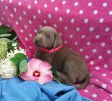 Labrador Retriever pups for sale.