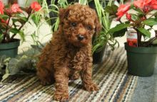Magnificent Toy Poodle Puppies Available✿✿ Email at ⇛⇛ [baldsandhar@gmail.com]