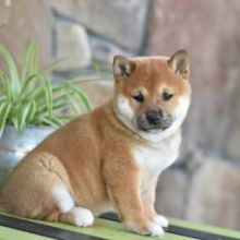 Male and female Shiba Inu puppies✿✿ Email at ⇛⇛ [baldsandhar@gmail.com]