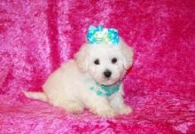 Maltipoo Puppies Available❤️❤️