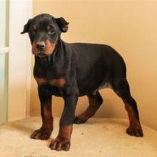 Miniature doberman pinscher puppies readyEmail at ⇛⇛ [baldsandhar@gmail.com] Miniature dob