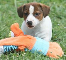 MINIATURE JACK RUSSELL TERRIER PUPPIES