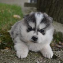 ❤️❤️ *POMSKY PUPPIES-READY FOR NEW HOMES**❤️❤️