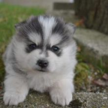 ❤️❤️ *POMSKY PUPPIES-READY FOR NEW HOMES**❤️❤️ Email at ⇛ [baldsandhar@gmail.co
