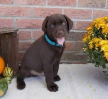 Purebred Labrador Retriever Puppies Looking For New Home