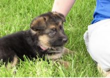 Registered German Shepherd puppies available❤️❤️