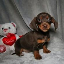 Smooth coat Dachshund Puppies available Email at ⇛⇛ [baldsandhar@gmail.com]