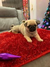 Super Adorable Pug Puppies For Re-homing