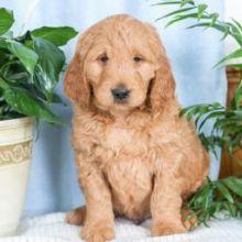 ❤️❤️ Sweet Golden-doodle Pups For Sale❤️❤️