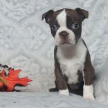 Top quality Male and Female Boston Terrier puppies