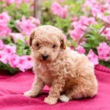 ❤️❤️ Toy Poodle Puppies✿✿ ❤️❤️