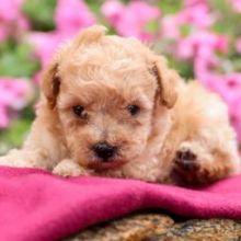 ❤️❤️ Toy Poodle Puppies✿✿ ❤️❤️ Email at ⇛⇛ [baldsandhar@gmail.com]
