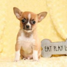 Two lovely Chihuahua puppies Available. Email at ⇛ [baldsandhar@gmail.com]