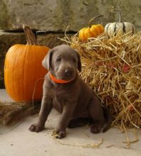 Two Lovely Labrador retriever puppies available