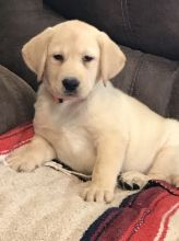 Two Lovely Labrador retriever puppies available Email at ⇛⇛ [baldsandhar@gmail.com]