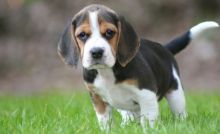 Wonderful Sweet Beagle Puppies male and female puppies