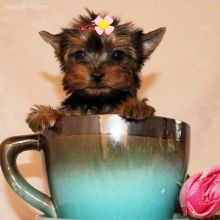 ❤️❤️ Yorkie puppies ready for their new homes