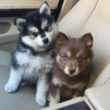 Charming Pomsky Puppies for rehoming